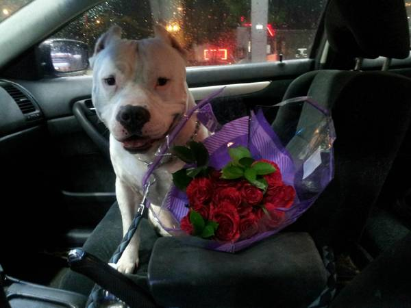 LOST DOG - FRIENDLY PIT Hou610
