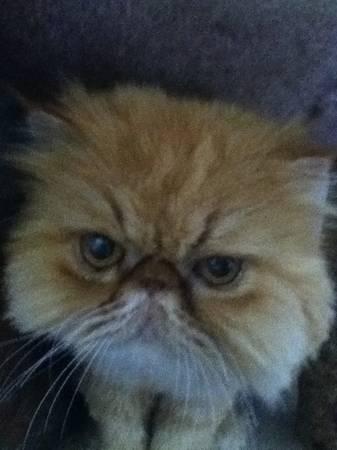 LOST PERSIAN CAT - CHARLOTTE Nc310