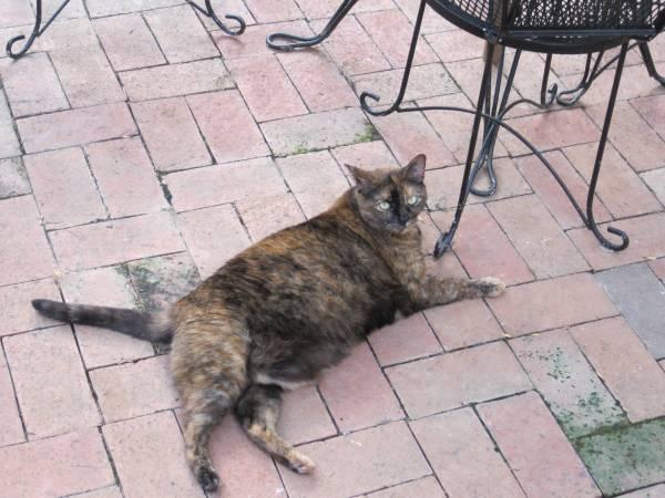 LOST CAT - EAST CHARLOTTE Nc610