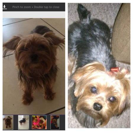YORKIE STILL MISSING..... Keep your eye out!!! Orl110
