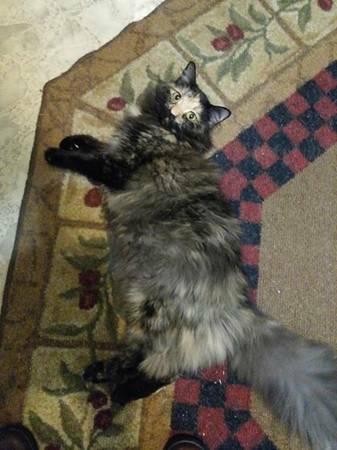 LOST CAT - PLEASE HELP Stl710
