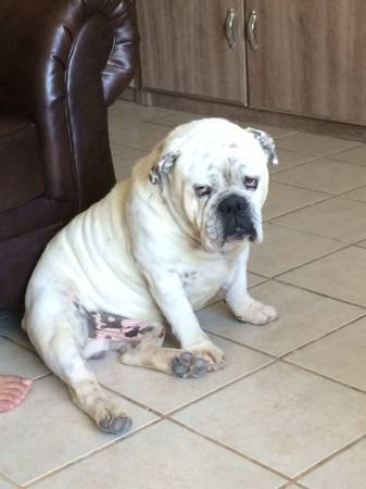 BIG REWARD LOST DOG Tx410