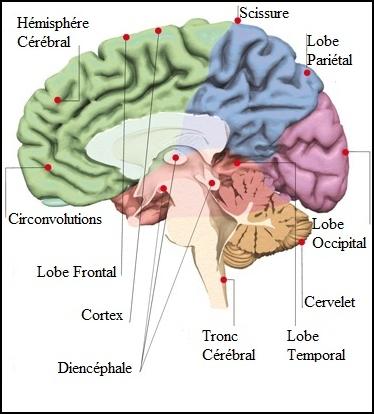 Cerveau de psychiatre au repos - Neptune