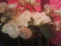 le begonia a fiston 07051489