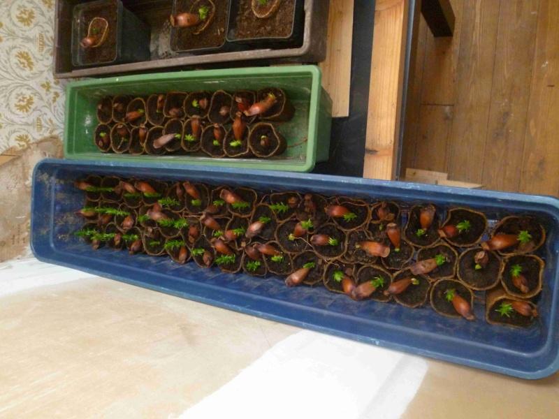 araucaria angustifolia 00410