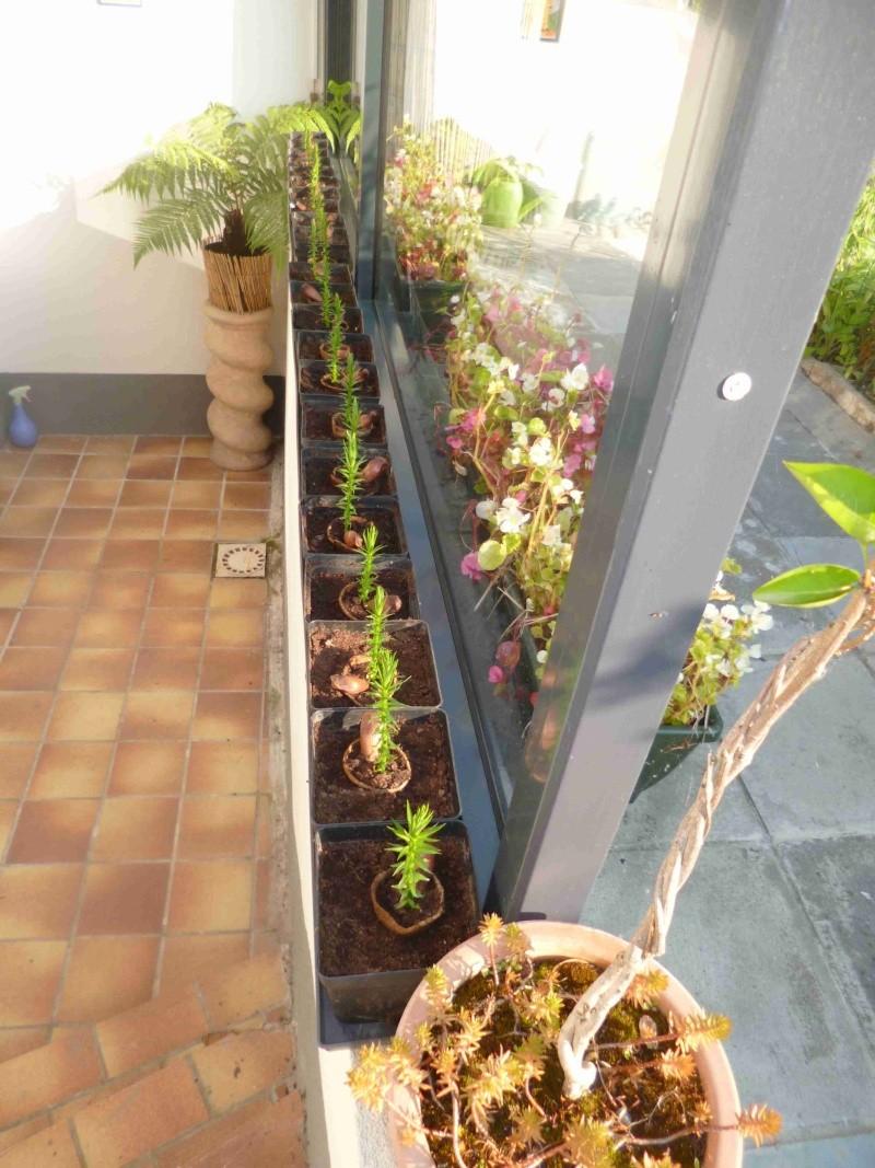 araucaria angustifolia 00710