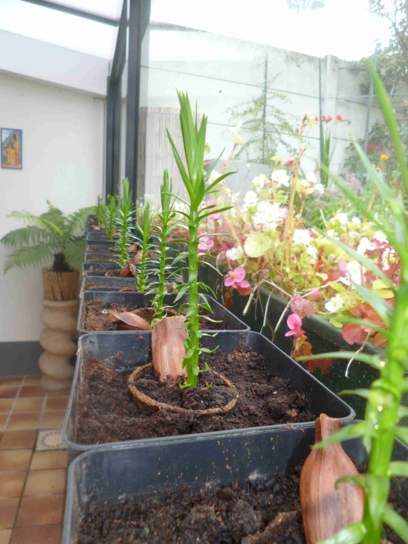 araucaria angustifolia 03610