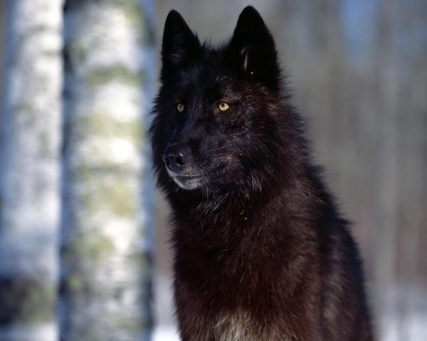 ~☆~Sirius, Wolf Star~★~ Sirius10