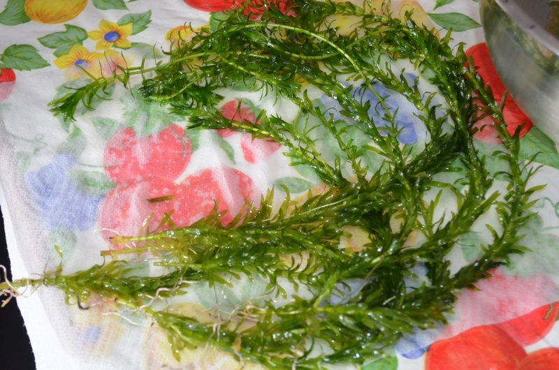 Identification de mes plantes Dsc_0620