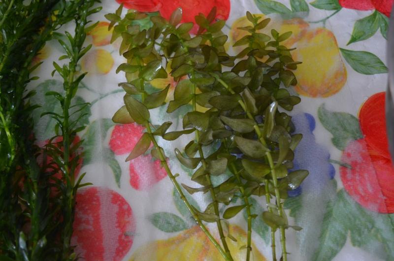 Identification de mes plantes Dsc_0621