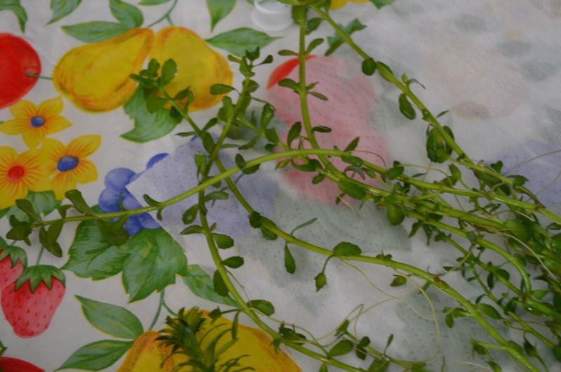 Identification de mes plantes Dsc_0622