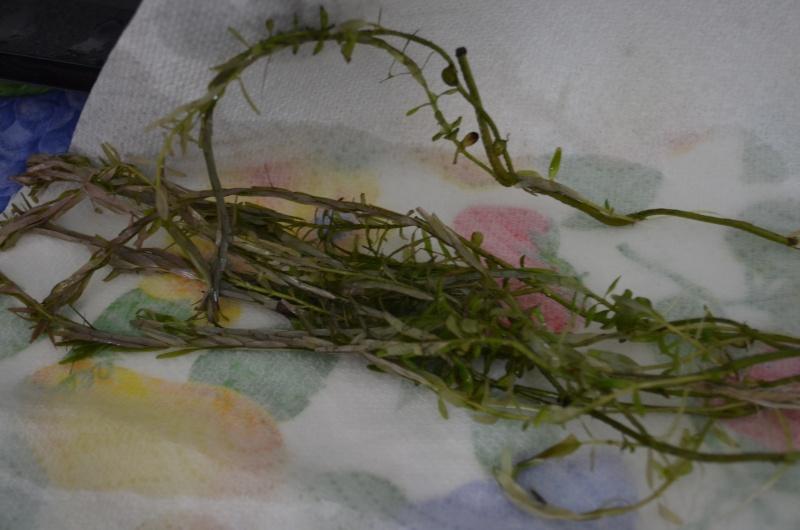 Identification de mes plantes Dsc_0624