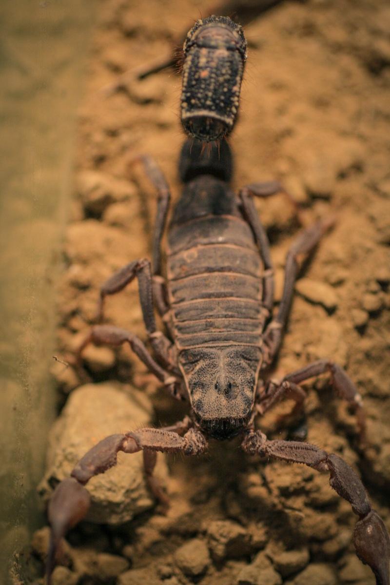 Is this a sluggish P.Transvaalicus? (Lots of photos) Fattai10