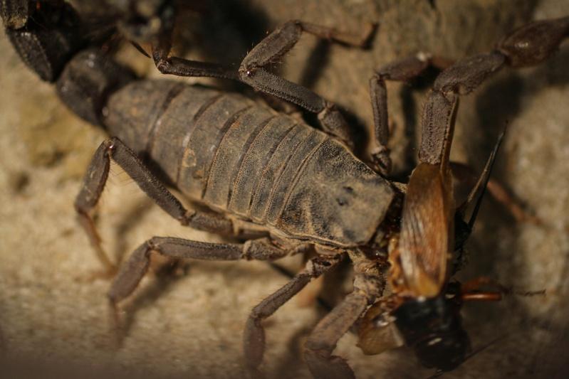 Is this a sluggish P.Transvaalicus? (Lots of photos) Transv10