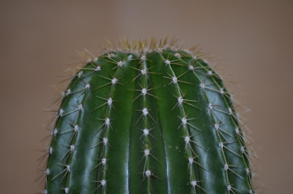 Neobuxbaumia polylopha Neobux11
