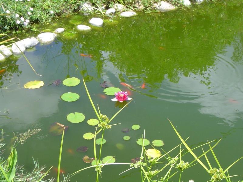 "Bassin au ""naturel"" Nanuph10"