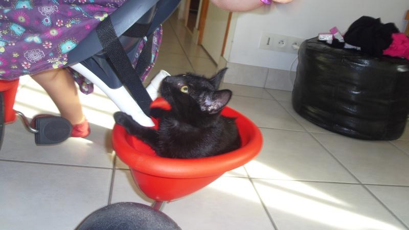 Jolicoeur, chaton type européen, noir née le 01/07/2014 Imgp6511
