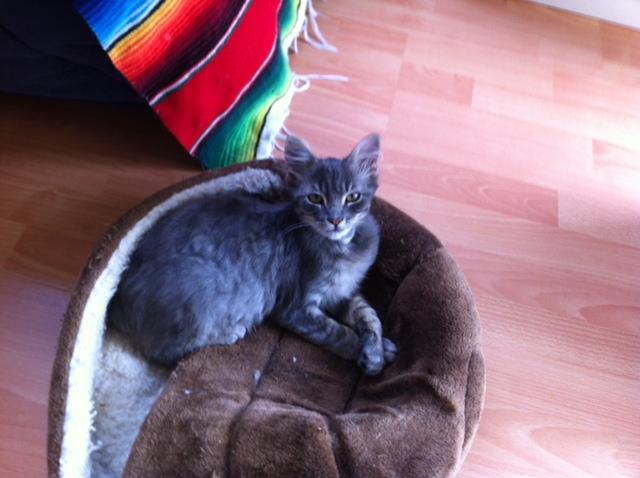 Jéjé chaton mâle BLUE TABBY né le 27/05/2014 Jeje10