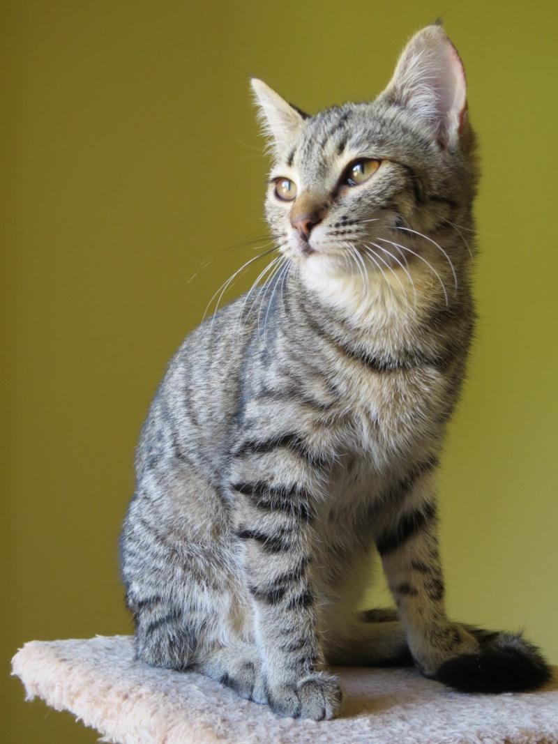 JENA Europeenne gris tigrée 250269810540116 54011610