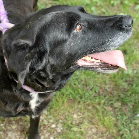 CHIMENE Labrador noire/blanche 250269810518248 RESERVEE Chimen12