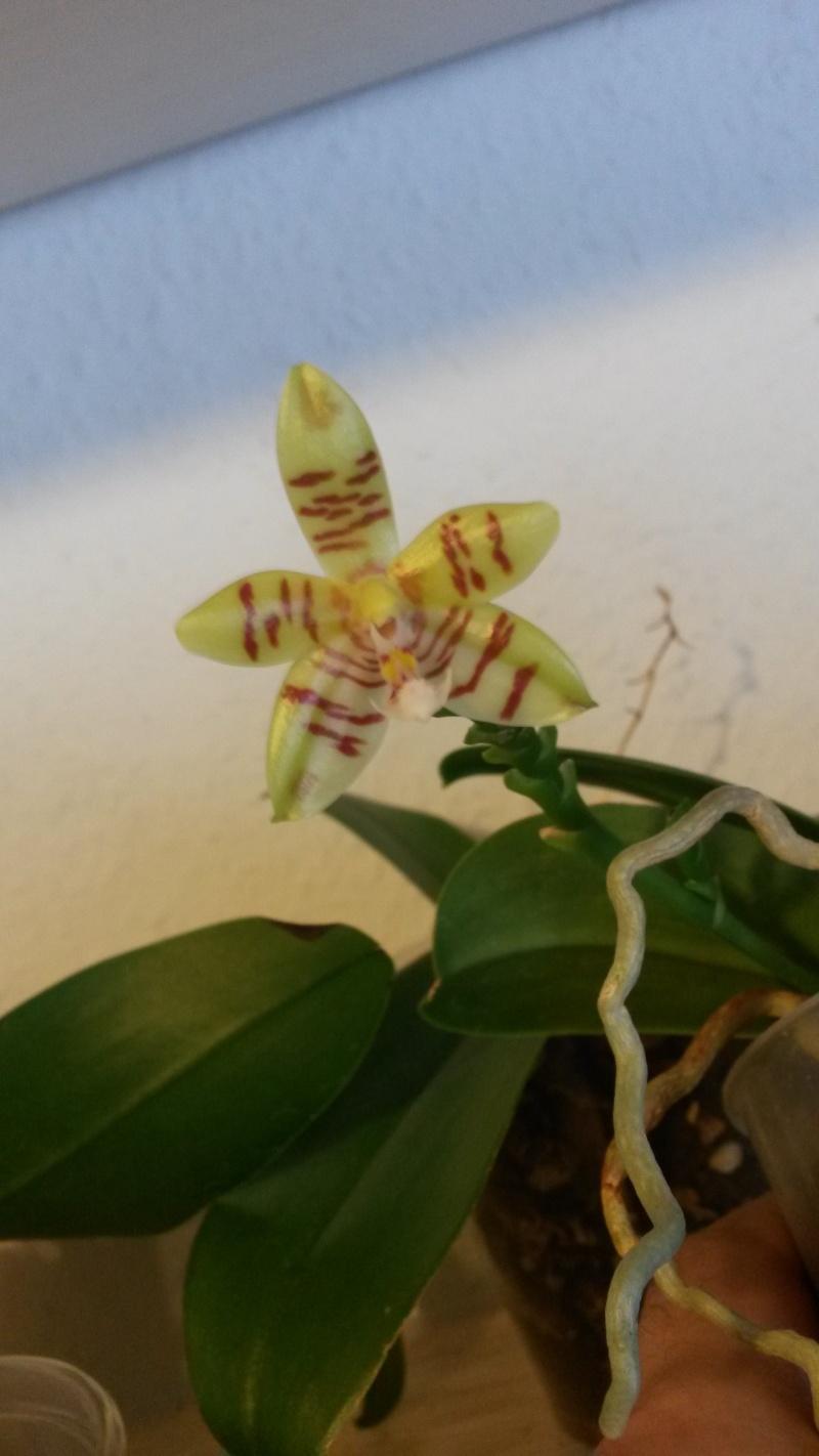 Phalaenopsis tetraspis x cornu cervi 20140613