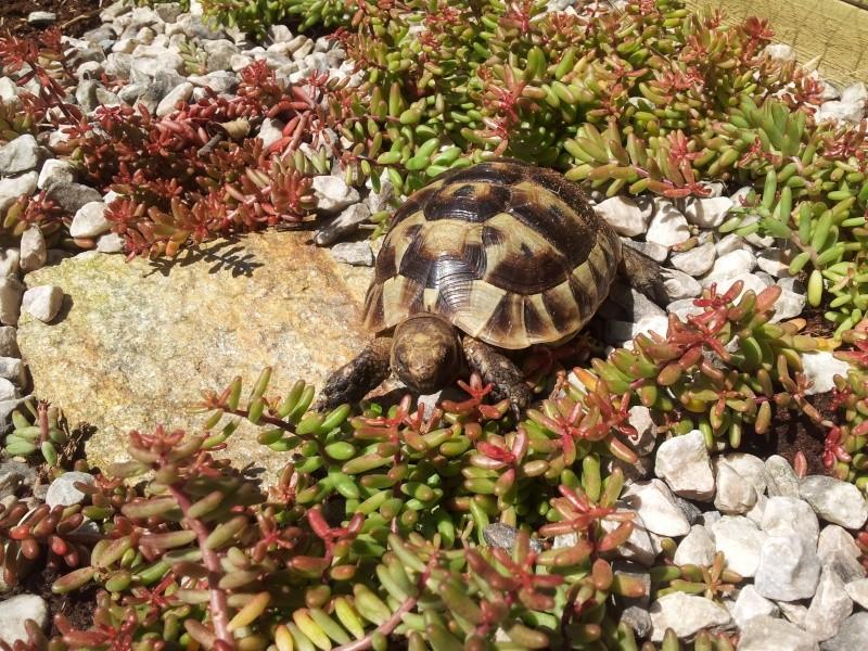 Des photos de ma tortue! (graeca) 20140511