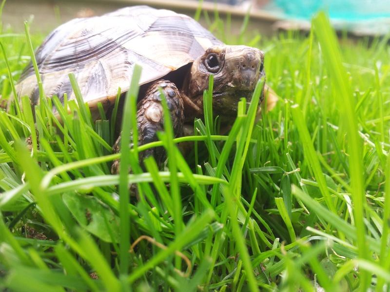 Des photos de ma tortue! (graeca) 20140611