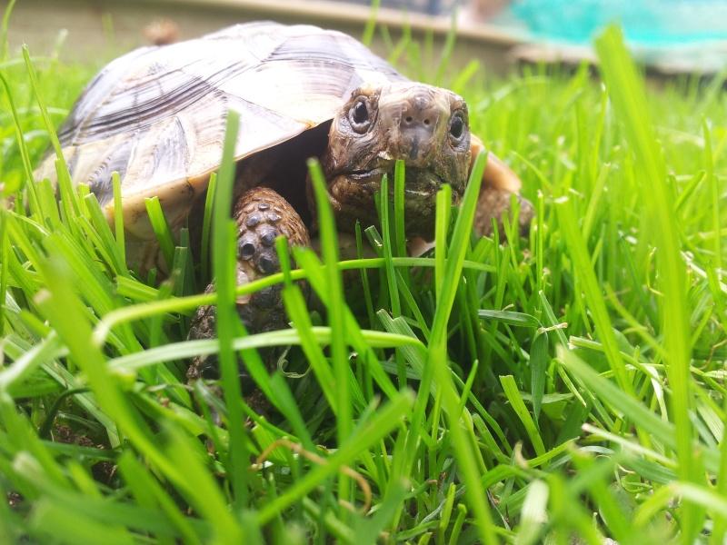 Des photos de ma tortue! (graeca) 20140612