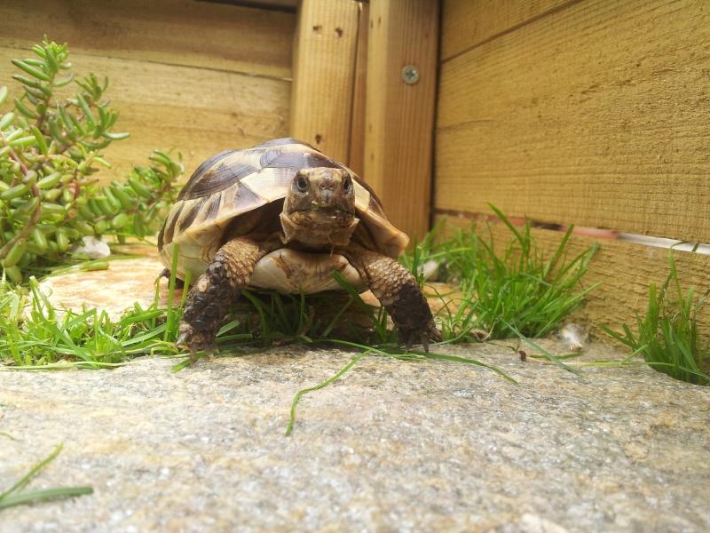 Des photos de ma tortue! (graeca) 20140614