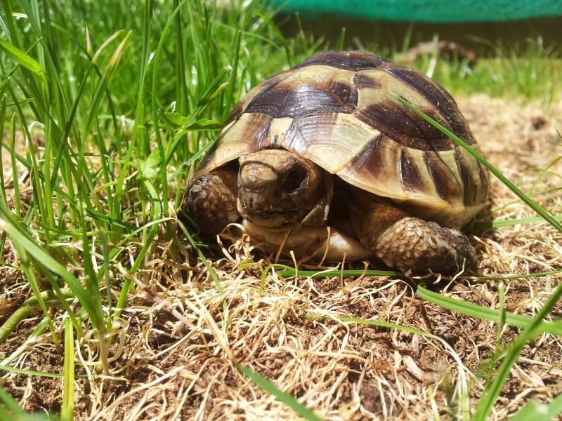 Des photos de ma tortue! (graeca) 20140618