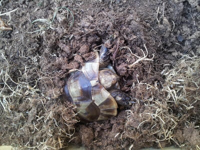 Des photos de ma tortue! (graeca) 20140620