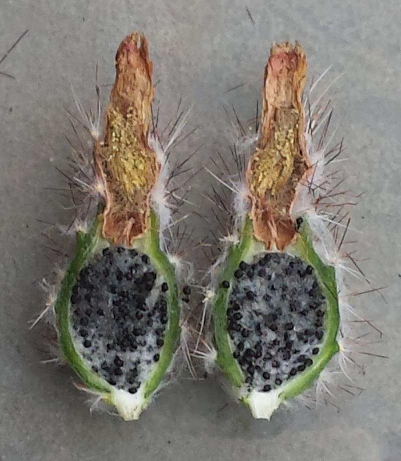 Echinocereus reichenbachii ssp. reichenbachii var. baileyi 20140711