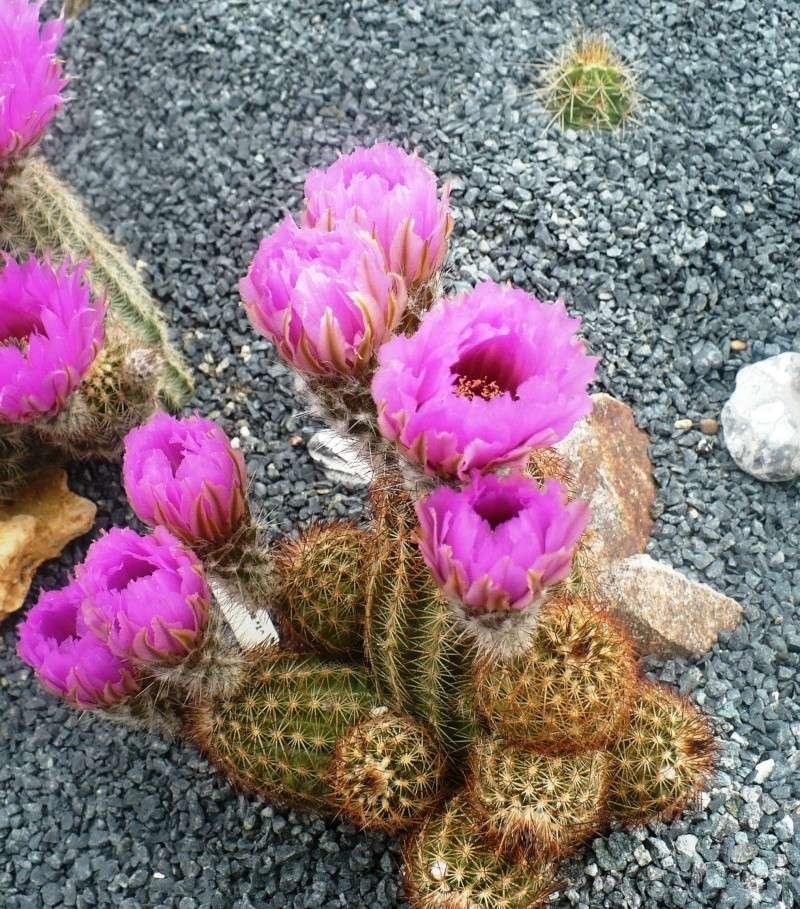 Echinocereus reichenbachii ssp. reichenbachii var. baileyi P1090010