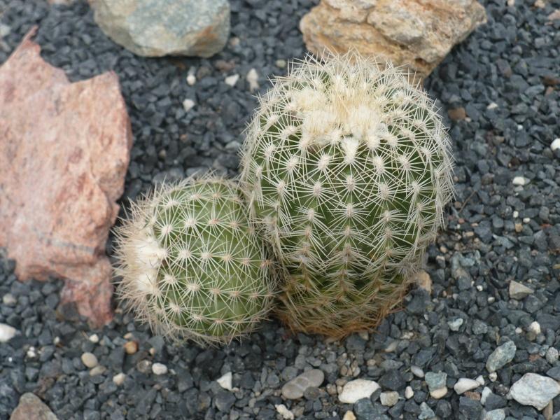 Echinocereus reichenbachii ssp. reichenbachii var. baileyi P1090215