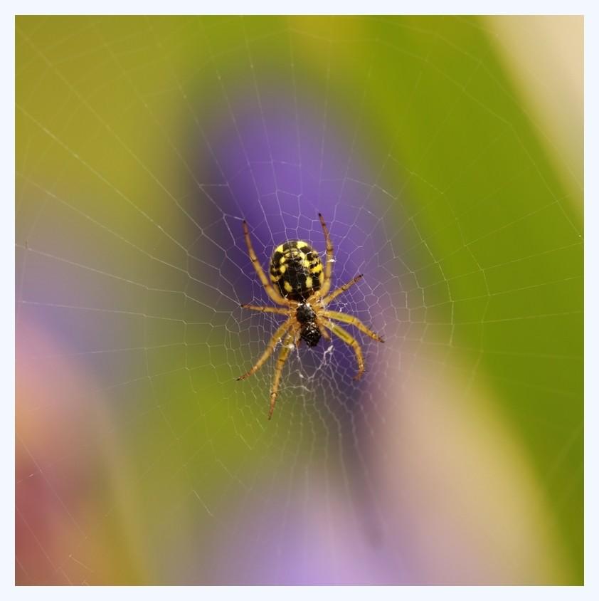 Les araignées Ciblea10