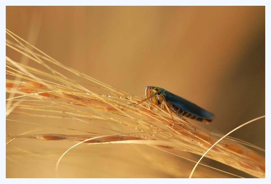 Cicadelle Cicade10