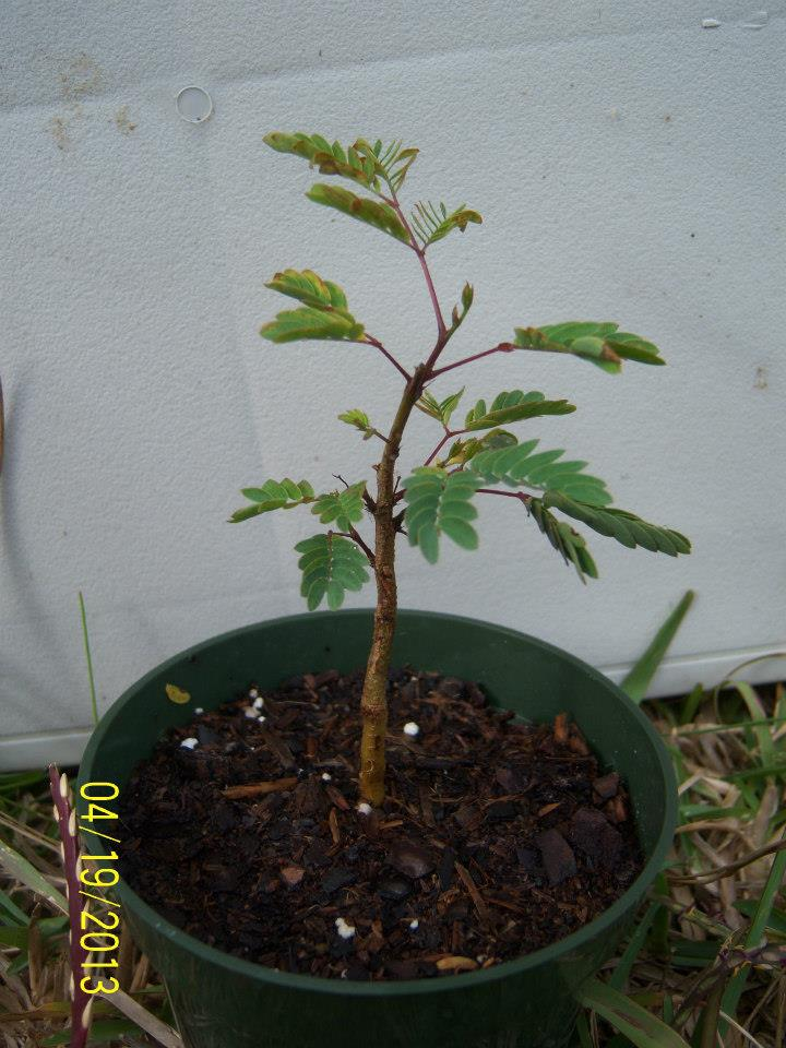 any one else doing any Mesquite Bonsai out there?  47991_11