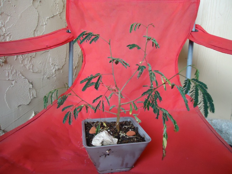 any one else doing any Mesquite Bonsai out there?  Dsc04811