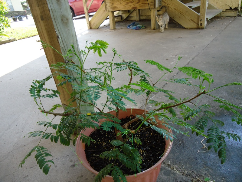 any one else doing any Mesquite Bonsai out there?  Dsc04813