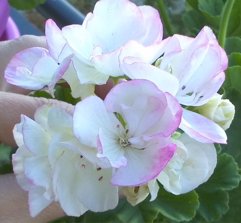Pelargonium - Pelargonien - alle nichtsukkulenten Arten und Sorten - Aussaat - Stecklinge - Seite 12 Alpine10