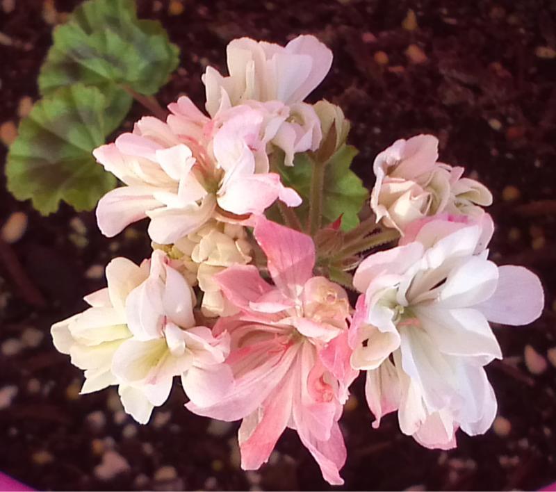 Pelargonium - Pelargonien - alle nichtsukkulenten Arten und Sorten - Aussaat - Stecklinge - Seite 12 Alsta_10