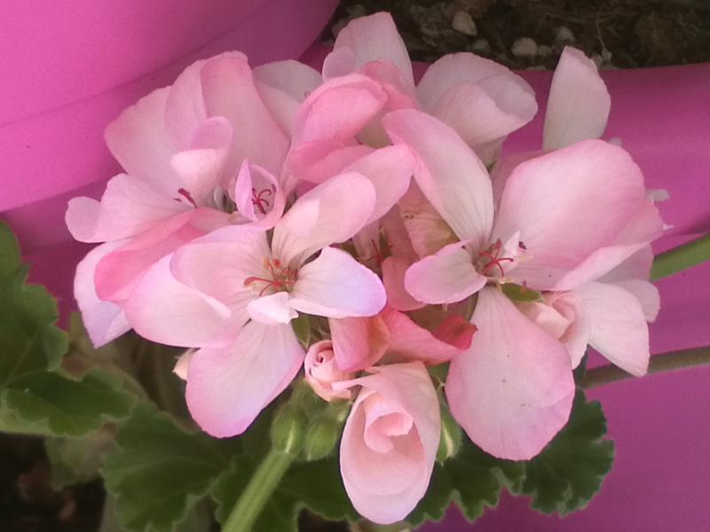 Pelargonium - Pelargonien - alle nichtsukkulenten Arten und Sorten - Aussaat - Stecklinge - Seite 12 Aquare10