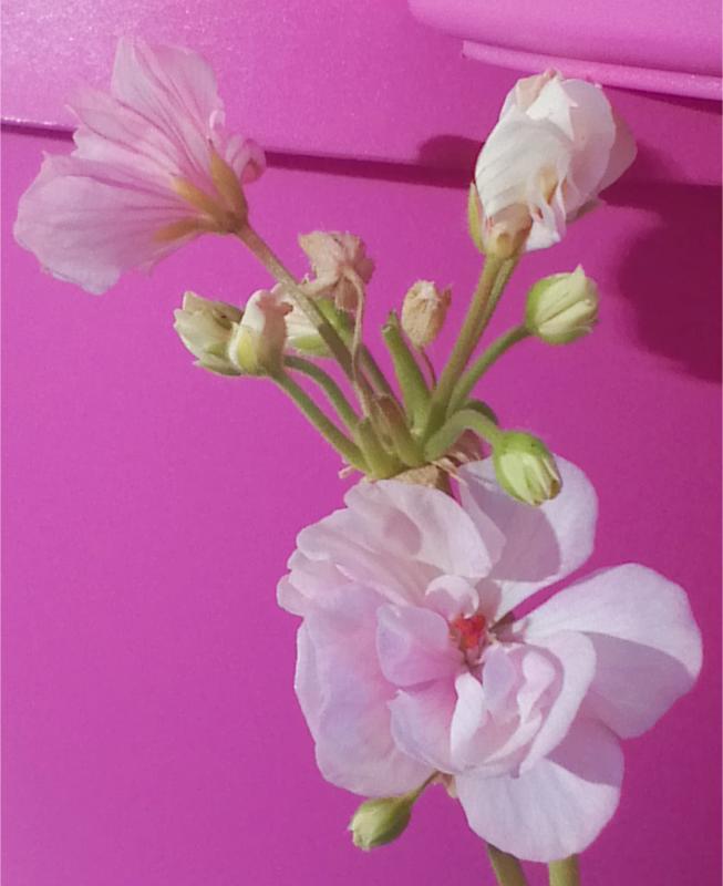 Pelargonium - Pelargonien - alle nichtsukkulenten Arten und Sorten - Aussaat - Stecklinge - Seite 12 Dame_a10