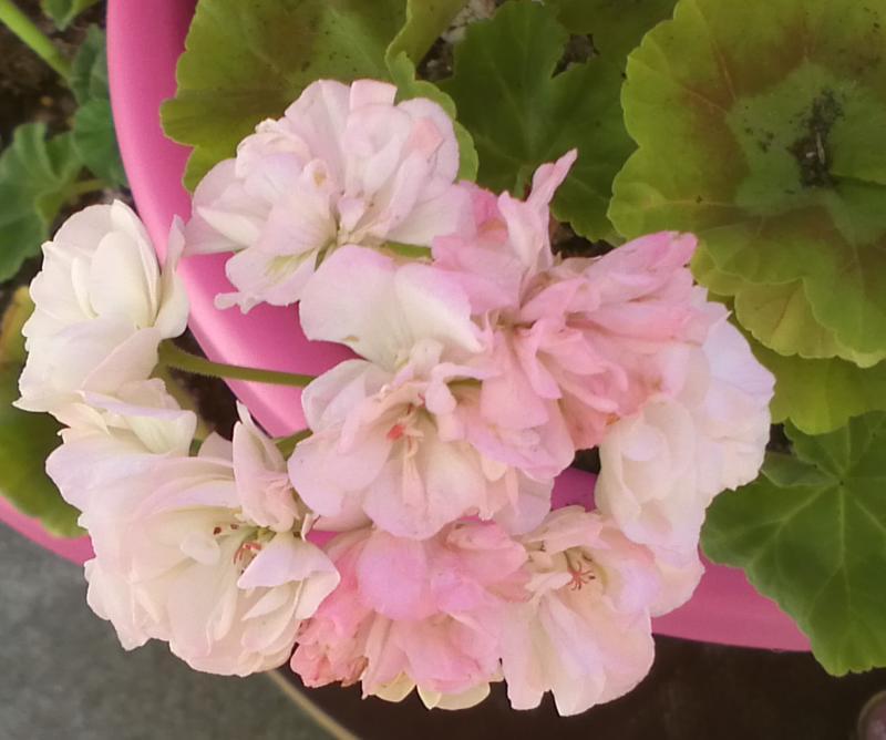 Pelargonium - Pelargonien - alle nichtsukkulenten Arten und Sorten - Aussaat - Stecklinge - Seite 12 Dovepo10