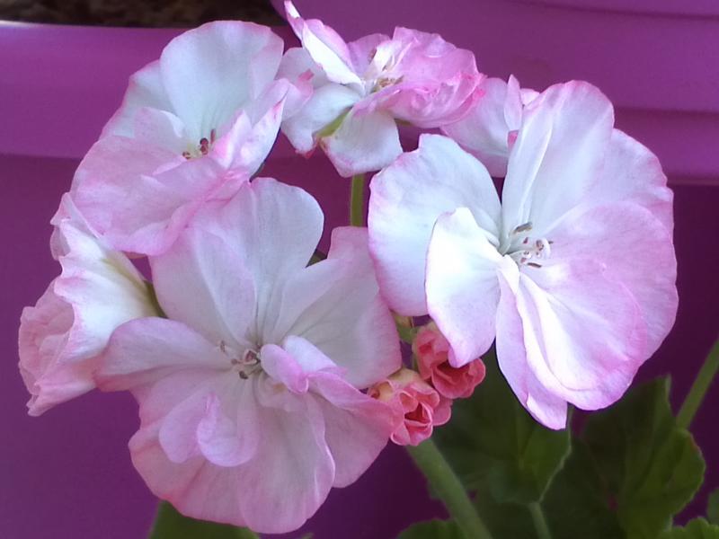 Pelargonium - Pelargonien - alle nichtsukkulenten Arten und Sorten - Aussaat - Stecklinge - Seite 12 Eileen10