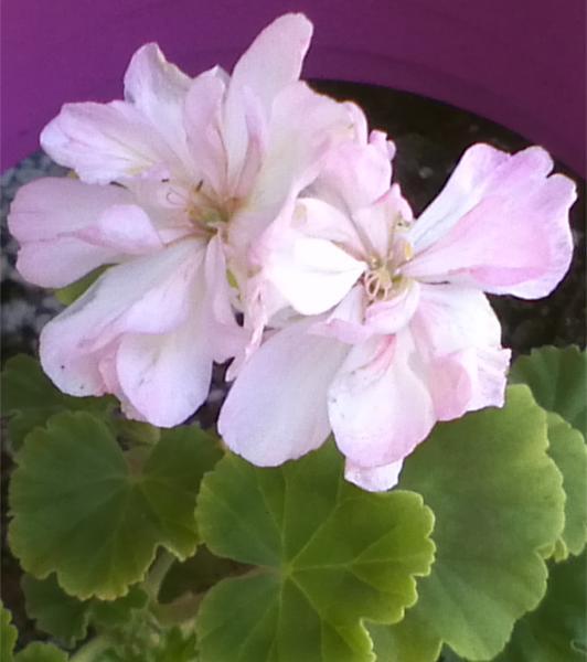 Pelargonium - Pelargonien - alle nichtsukkulenten Arten und Sorten - Aussaat - Stecklinge - Seite 12 Ekeby_10