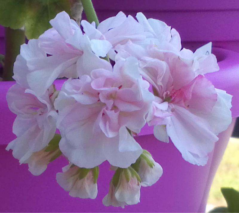 Pelargonium - Pelargonien - alle nichtsukkulenten Arten und Sorten - Aussaat - Stecklinge - Seite 12 Granny10
