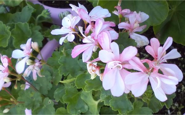 Pelargonium - Pelargonien - alle nichtsukkulenten Arten und Sorten - Aussaat - Stecklinge - Seite 12 Honeyw10