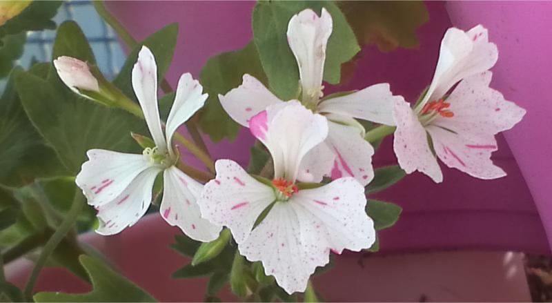 Pelargonium - Pelargonien - alle nichtsukkulenten Arten und Sorten - Aussaat - Stecklinge - Seite 12 Jackie10