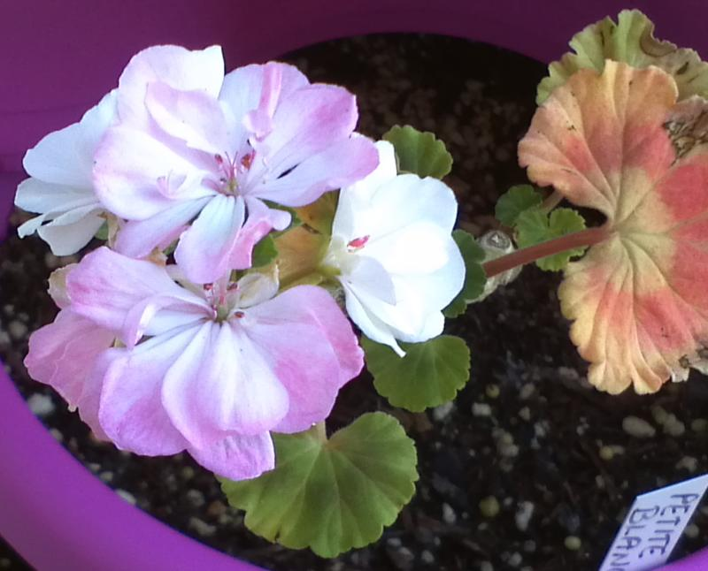 Pelargonium - Pelargonien - alle nichtsukkulenten Arten und Sorten - Aussaat - Stecklinge - Seite 12 Petite10